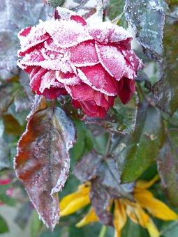 Flowers, Winter, Garden, Frost, Nature, Romance