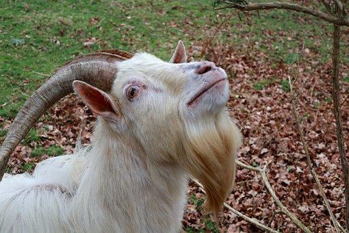 Animal, Goat, Horns, Livestock
