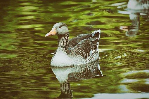 Goose, Water Bird, Swim, Nature, Bird, Poultry, Bill