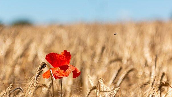 Agriculture, Corn, Crop, Dry, Farm Field, Food, Grain