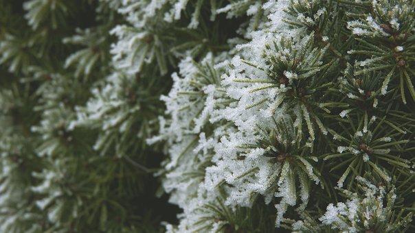 Tis, Branch, Needles, Blue Branch, Conifer, Green