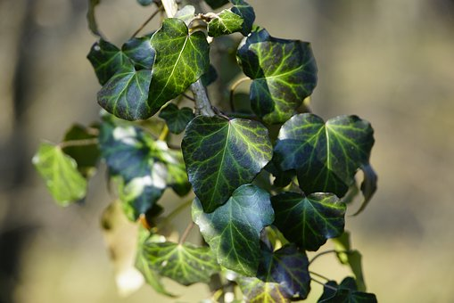 Ivy, Vine, Green, Leaves, Texture, Sun, Forest