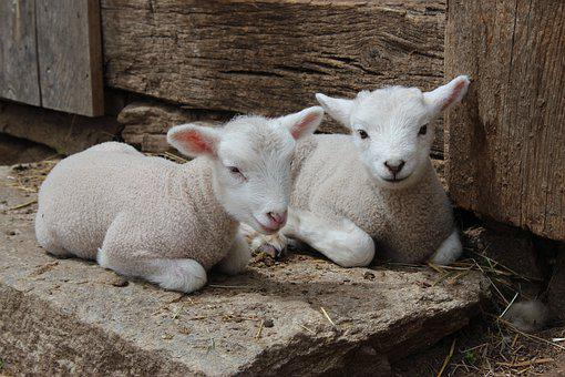 Lamb, Sheep, Farm, Spring, Animals, Farming, Cute