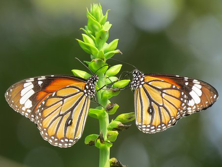 Butterfly, Nature, Insect, Animal
