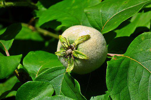Quince, Fruit, Garden, Spring, Tree, Plant, Nature