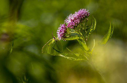 Common Brimstone, Nature, Flower, Insect, Plant, Summer