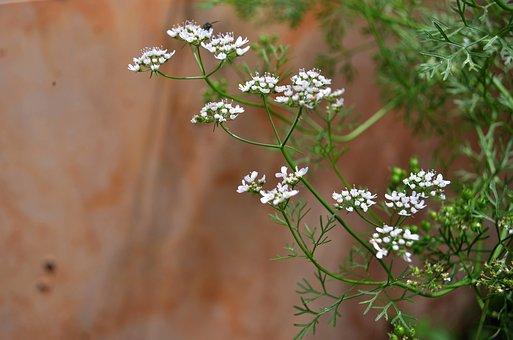 Cilantro Flower, Cook, Plant, Herb, Coriander, Green