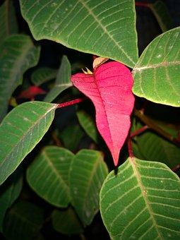 Flower Of Easter, Flower Good Night, Leaves, Poinsettia