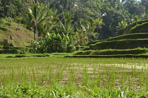 Indonesia, Bali, Ubud, Paddy, Rice, Plant, Green, Water