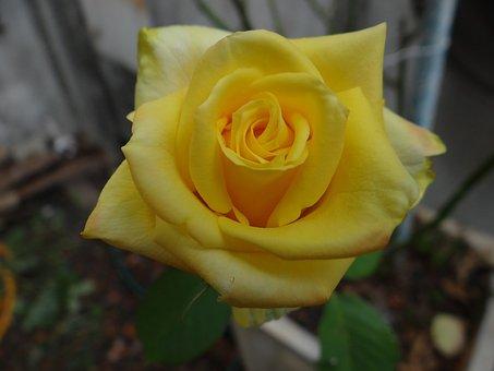 Rosa, Flower, Roses, Garden, Flora