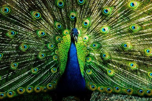 Peacock, Feather, Bird, Pattern, Animal, Blue, Plumage