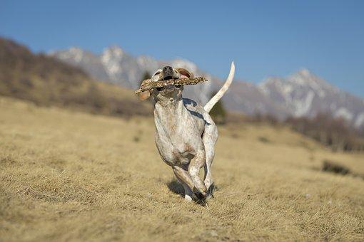 Dog, Hunting, Animal, Nature, Brown, Runs, Mountain