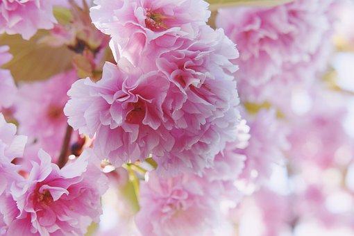 Cherry Blossom, Pink, Close Up, Macro, Spring