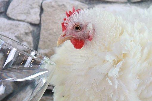 Chicken, Bird, Hen, Cochin, Curly, Pet, Feather