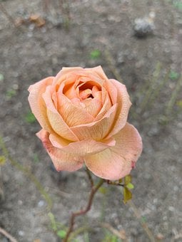 Rose, Dried, Frosted, Peach-coloured, Bloom, Flower