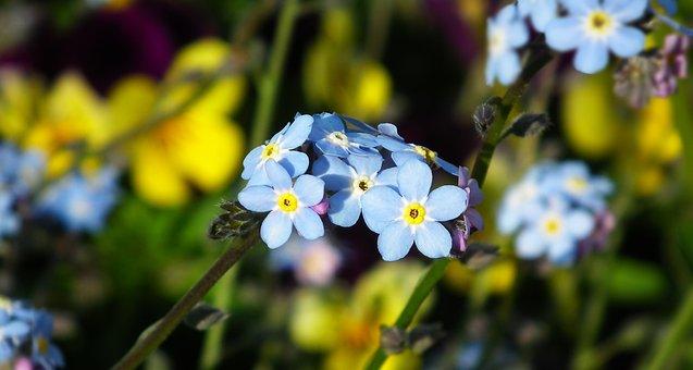 Nots, Flowers, Decorative, Blue, Garden, Closeup