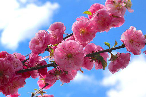 Flowers, Pink, The Beginning Of Spring