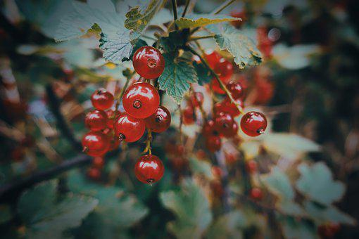 Currants, Fruit, Berries, Fruits