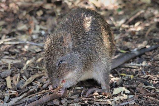 Australian, Bandicoot, Eating, Marsupial, Furry