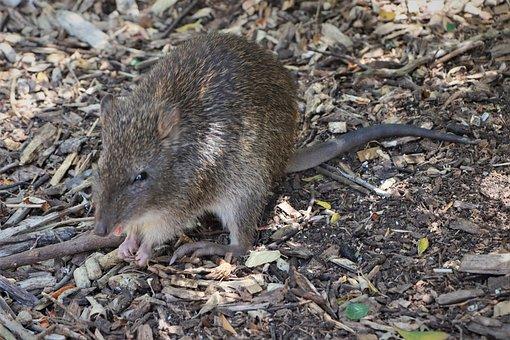 Australian, Bandicoot, Eating, Hands, Marsupial, Furry