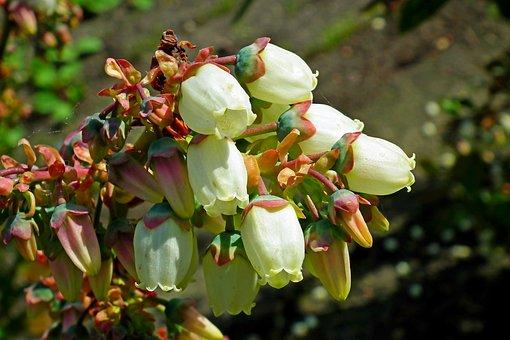 Flowers, Blueberries American, Nature, Closeup, Garden