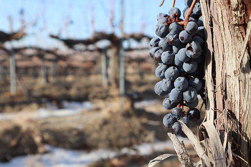 Vinyard, Grapevine, Grapes, Winery