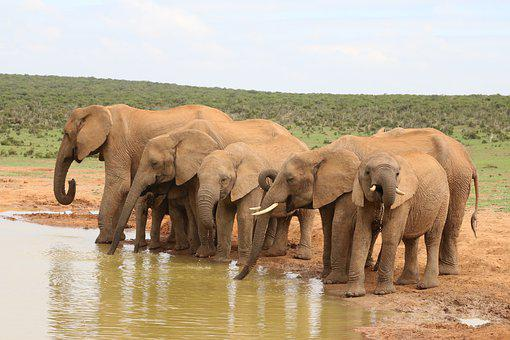 Elephant, Herd Of Elephants, Flock, Africa, Wildlife