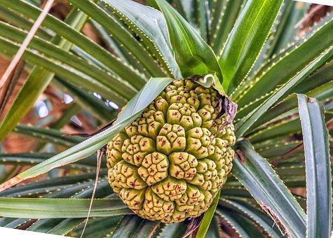 Thailand, Krabi, Exotica, Pine Cone, Nature