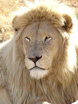 Lion, White, White Lion, Males, Cat, Big Cat, Africa