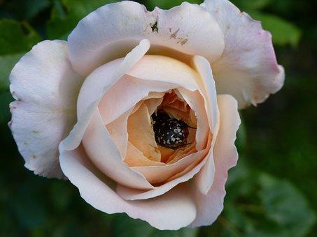 Rose, Flower Buds, Aurata, Flower, Nature, Blooms At