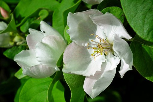 Quince, Flower, Sprig, Garden, Nature, Blooming