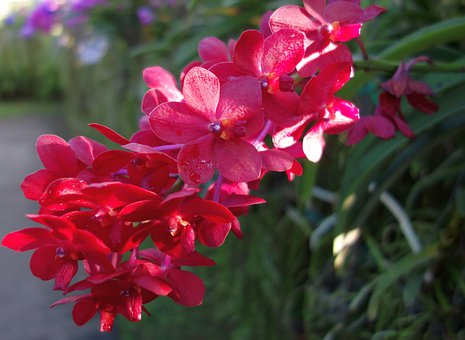 Orchid, Orchidea, Red, Plant, Flower, Decorative