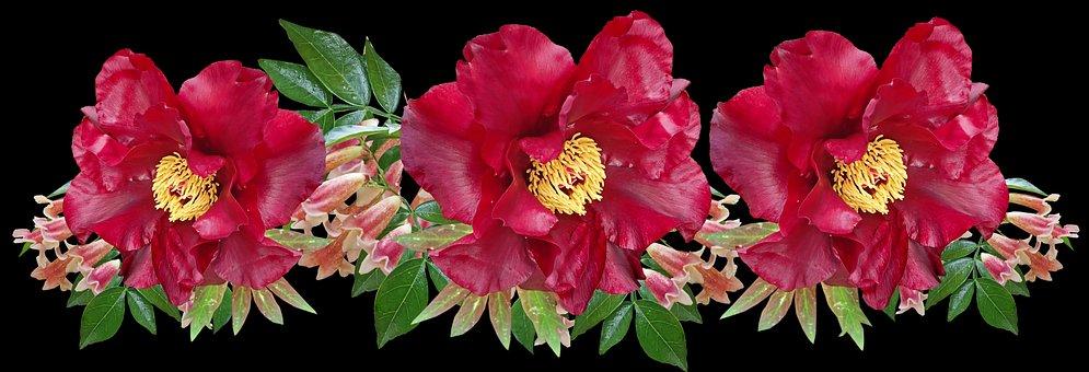 Flowers, Red, Peony, Pandorea Vine