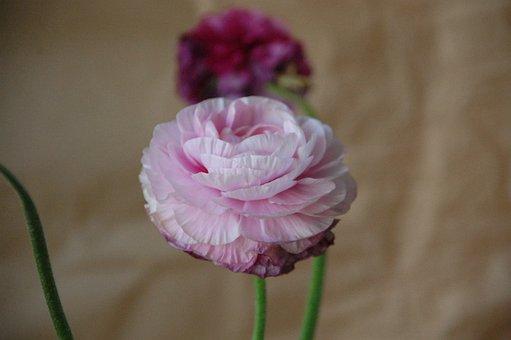 Ranunculus, Blossom, Bloom, Pink, Flower, Petals