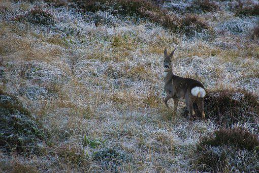Deer, Ricke, Nature, Animal World, Wild, Bambi