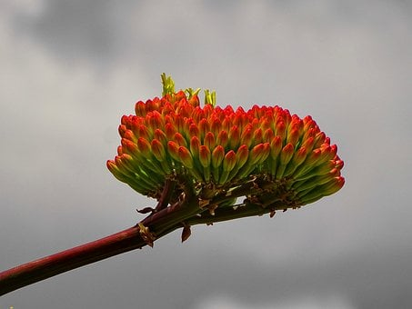 Agave, Agave Flowering, Africa, South Africa, Flower