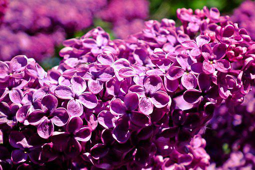 Lilac, Flowers, Spring, Garden, Nature, The Smell Of