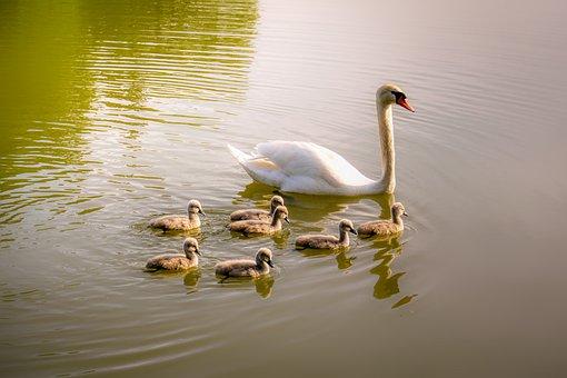 Swan, Swan Family, Chicks, Lake, Nature, Swim, Plumage