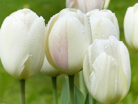 Tulips, Tulpenbluete, Drop Of Water, Bed, Spring, Bloom