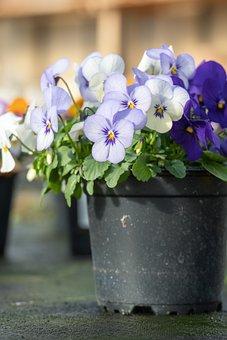 Pansy, Flower, Blossom, Bloom, Purple, Violet, Plant