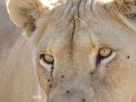 Lion, White, White Lion, Female, Cat, Big Cat, Africa