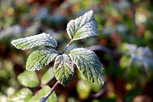 Leaves Frosted, Frost, Ice Crystals, Frozen, Winter