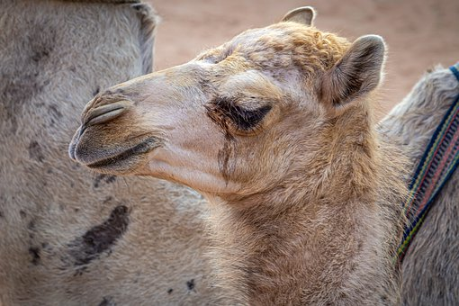Camel, Young, Portrait, Small