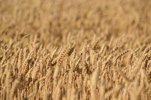 Crops, Field, Wheat, Rye, Agriculture