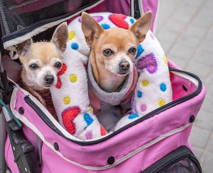 Dogs, Small, Chihuahuas, Carriage, Pet, Cute, Animal