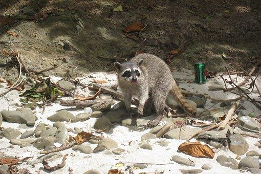 Raccoon, Beach, Costa Rica, Masked, Bandit, Funny