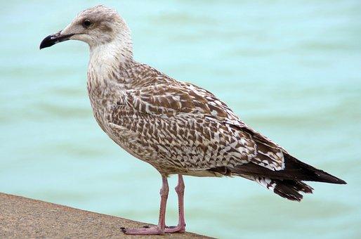 Goëland, Laridé, Bird, Sea bird, Grisard, Fauna