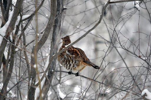 Grouse, Bird, Winter, Nature, Wild, Wildlife
