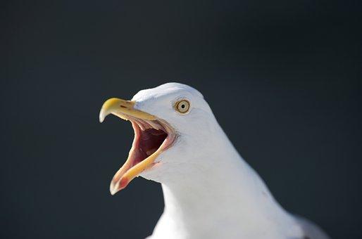 Seagull, Norway, Hurtigruten, Svolvær, Bird, Animal