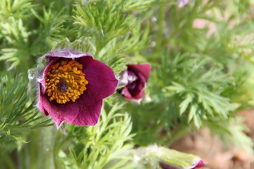 Pasqueflower, Blossom, Bloom, Flower, Spring, Plant